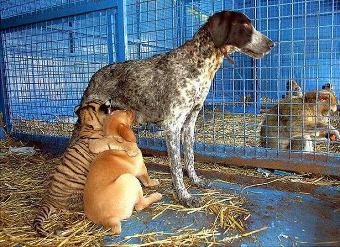 Тигр с собаками в дружеской фотосессии