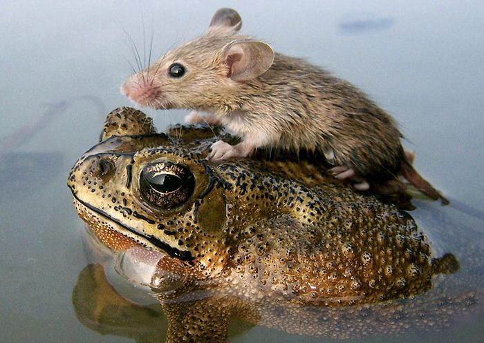 Жаба с мышью: и море по колено