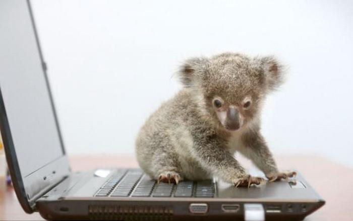 Raymond: коала, найденная на обочине дороги