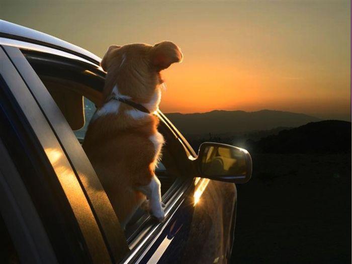 Коллекция снимков Dogs in Cars