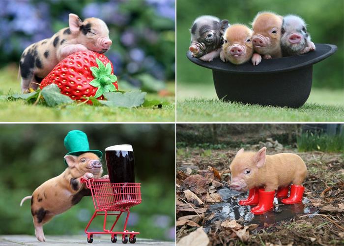 Миниатюрные свиньи