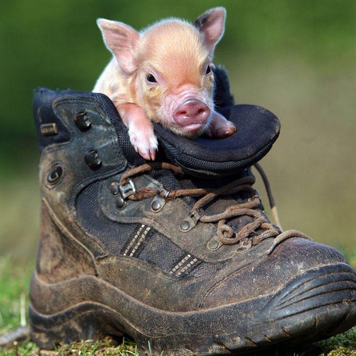 Великоват ботинок: мини-свинка в фотосессии