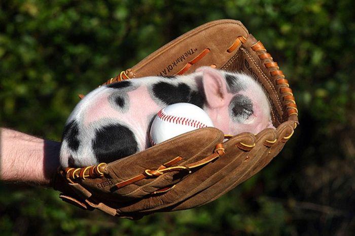 Мини-свинки на фотографиях