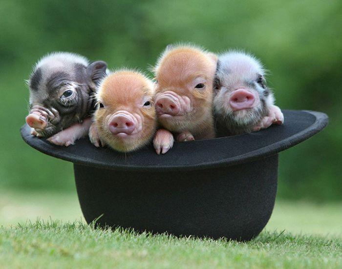 Свинки в шляпе
