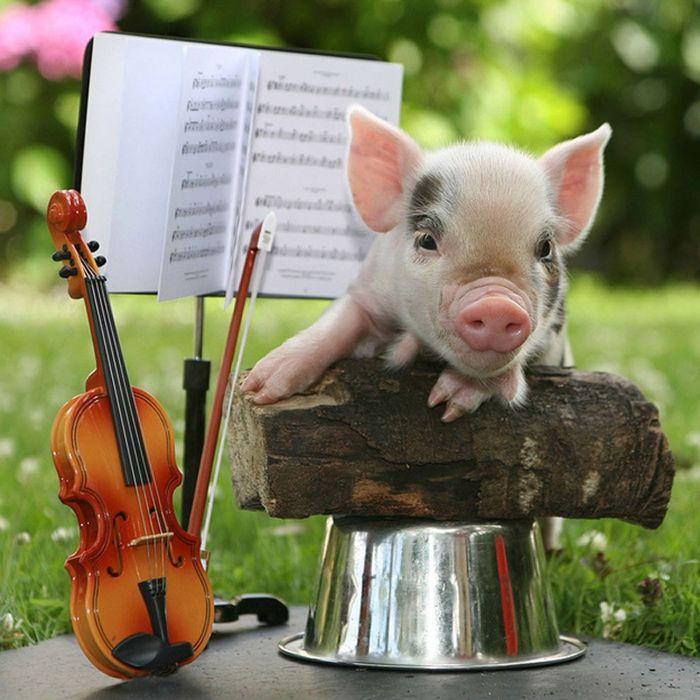 Музыкальная мини-свинка