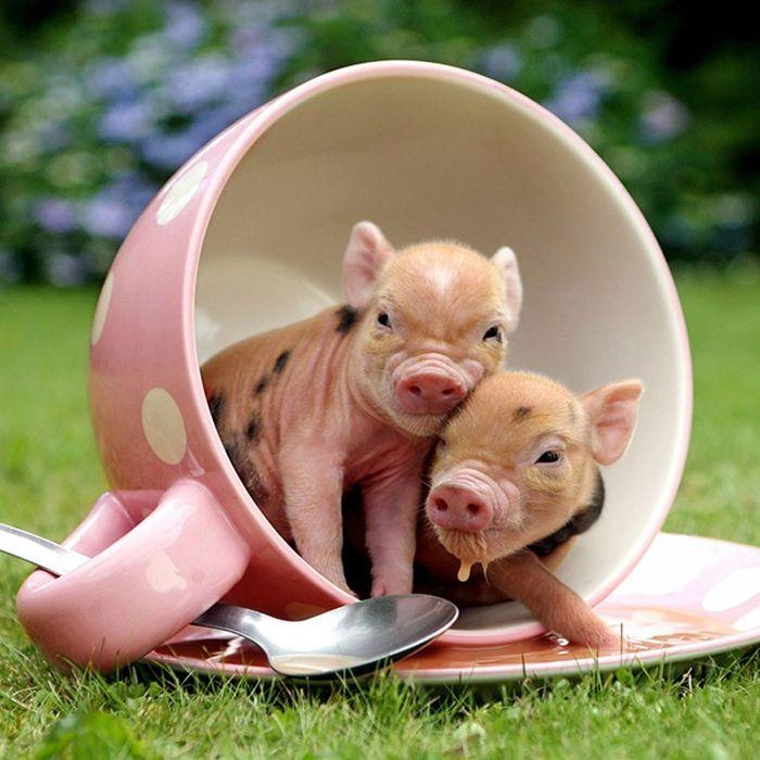 Мини-свинки в фотосессии