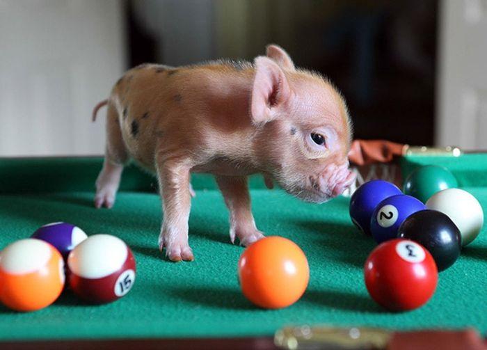 Свиньи тоже любят бильярд