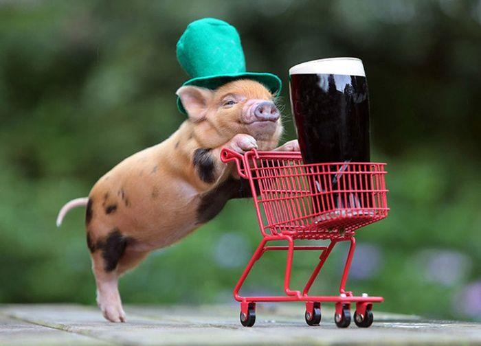 Очаровательное свинство: серия фотографий с мини-свиньями в главной рол