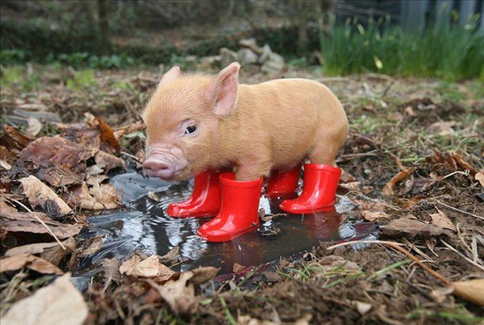 Свиньи грязи не боятся