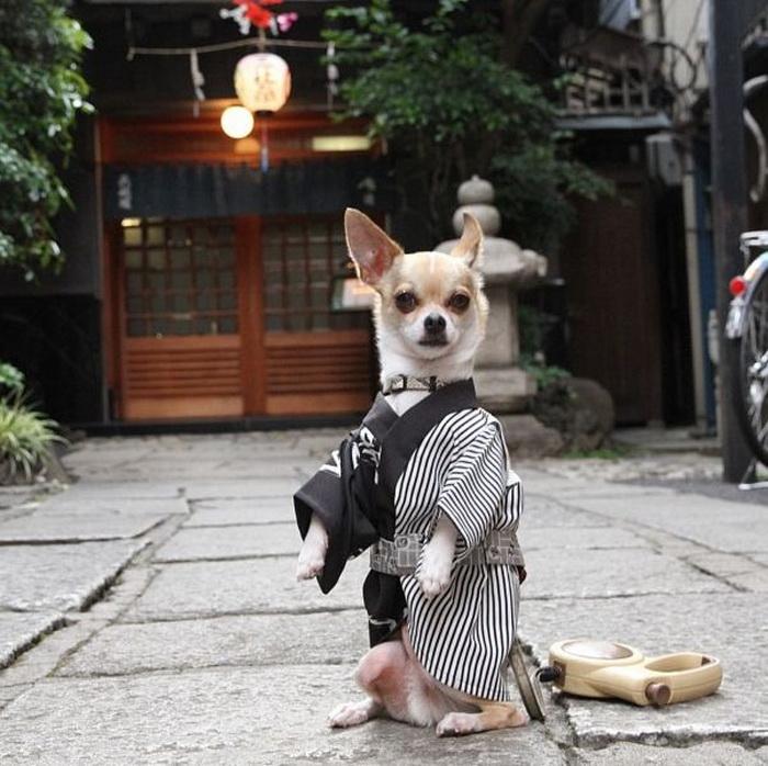 Самый модный японский чихуахуа по имени Монтжиро