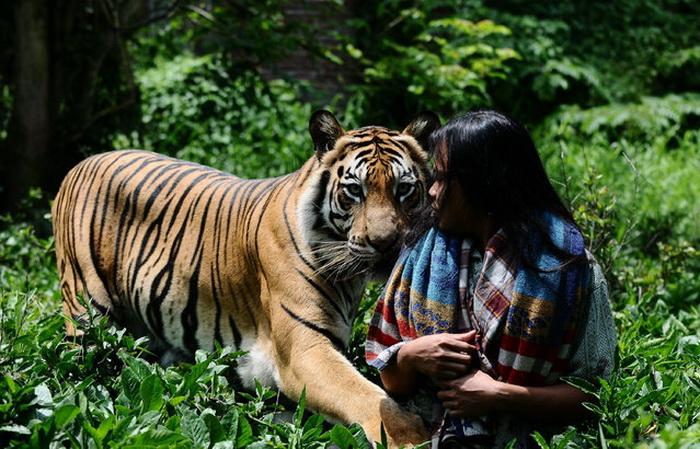 Бенгальский тигр Mulan Jamilah.
