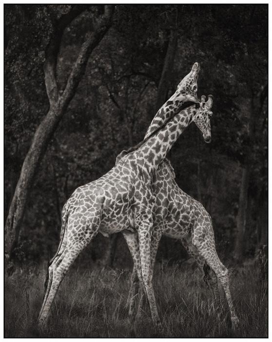 Жирафы глазами фотографа Nick Barratt
