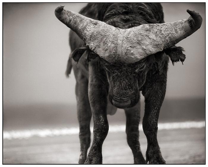Разъяренный африканский буйвол