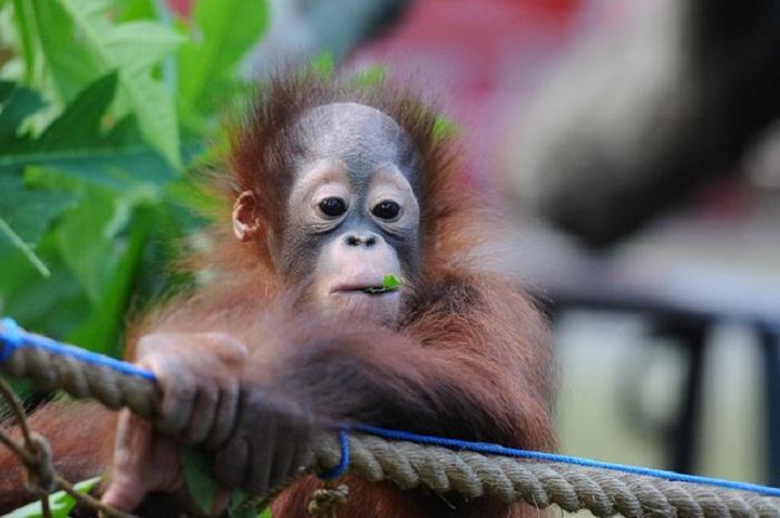 Орангутанг в зоопарке.
