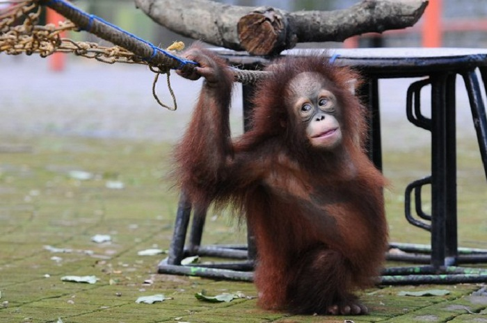 Забавы орангутанга.