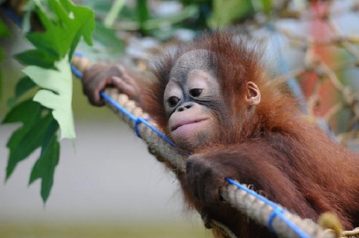 Детеныш орангутанга.