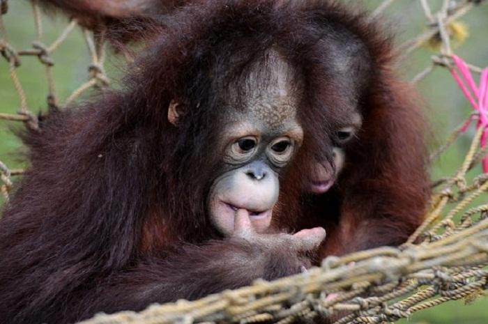 Детеныш орангутанг.