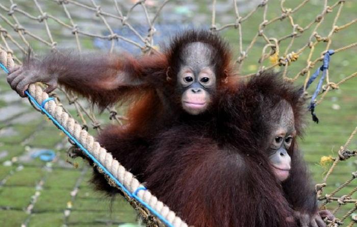 Два брата орангутанга.