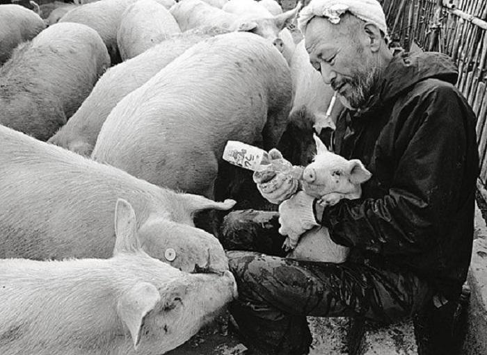 Свиньи на ферме.