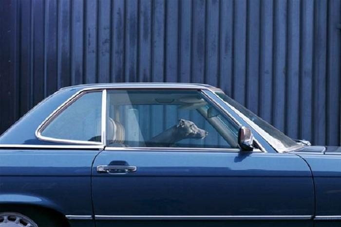 Коллекция фотографий собак, запертых в автомобиле.