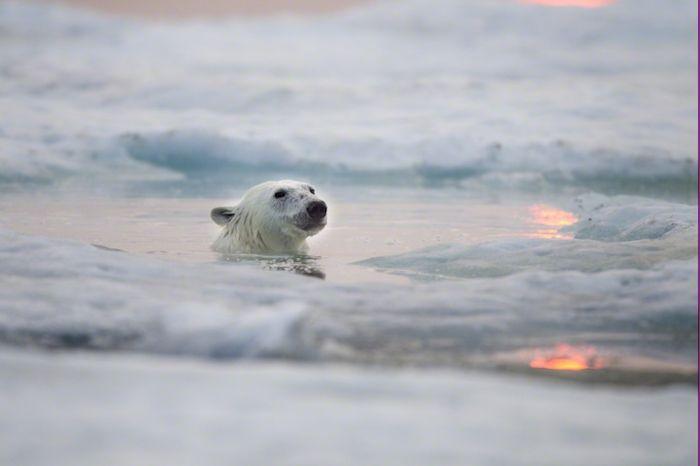 Фотографии полярных медведей