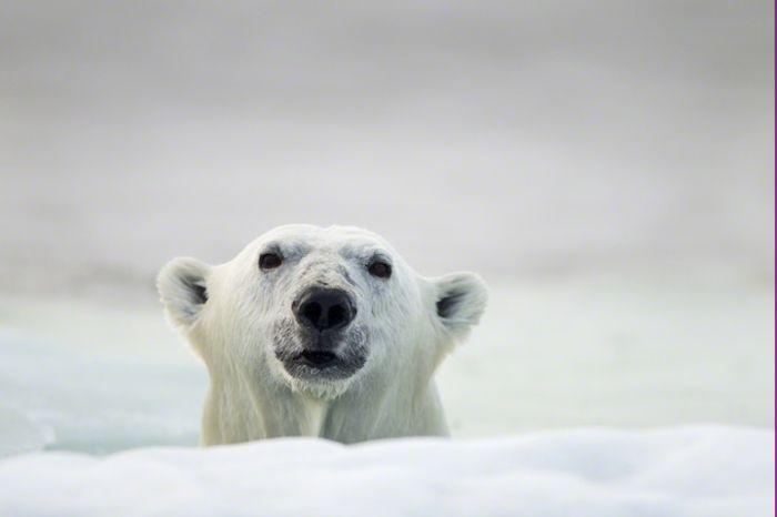 Paul Souders: полярные медведи