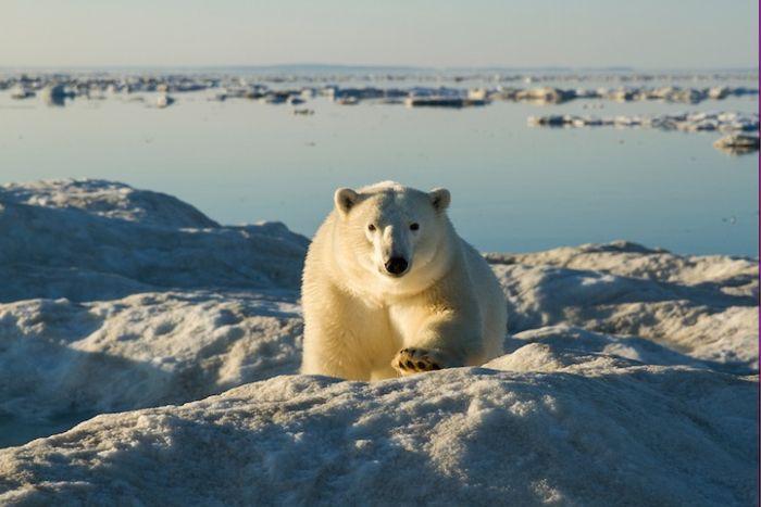 Белые полярные медведи