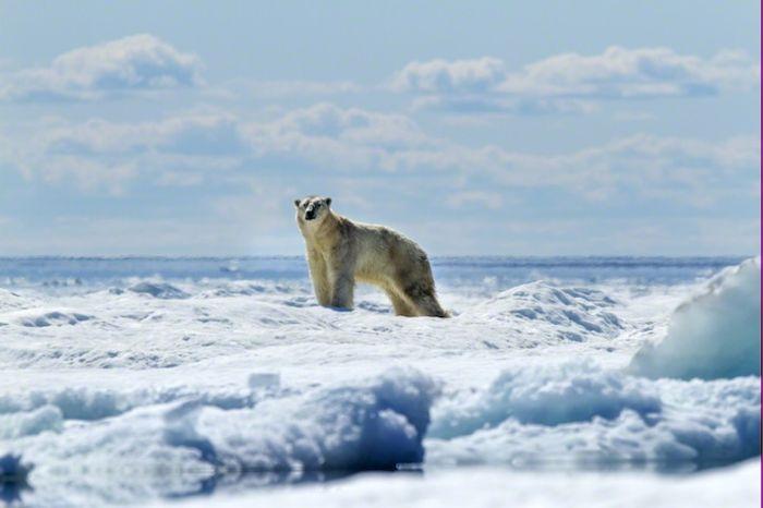 Белый полярный медведь
