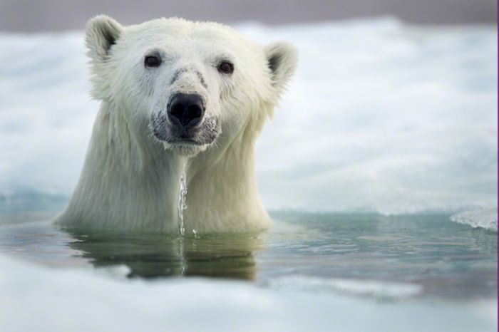 Paul Souders: белые полярные медведи