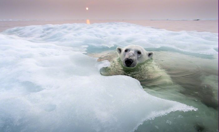 Фотографии полярных медведей от Paul Souders