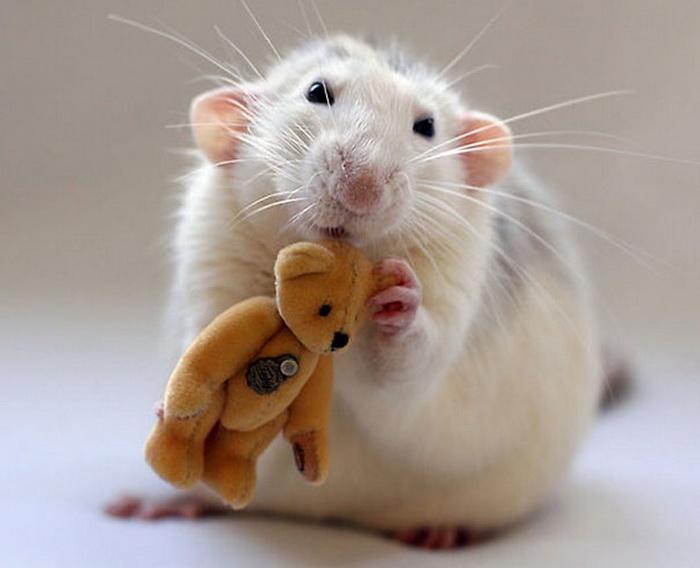 Очаровательные крысята в фотосессии Jessica Florence и Ellen van Deelen