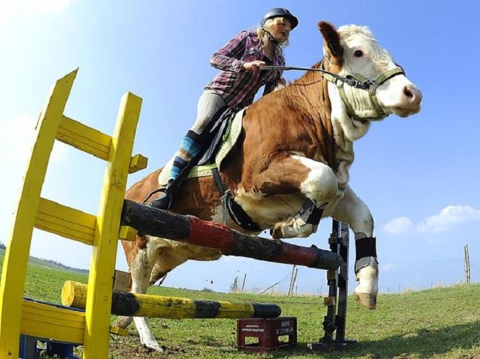 Regina Mayer на корове.
