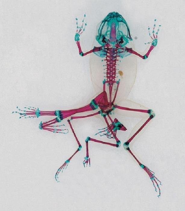 Анатомия лягушек в коллекции Malamp – Reliquaries