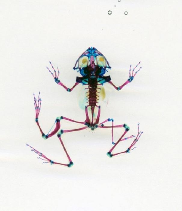 Строение лягушки в проекте Malamp – Reliquaries
