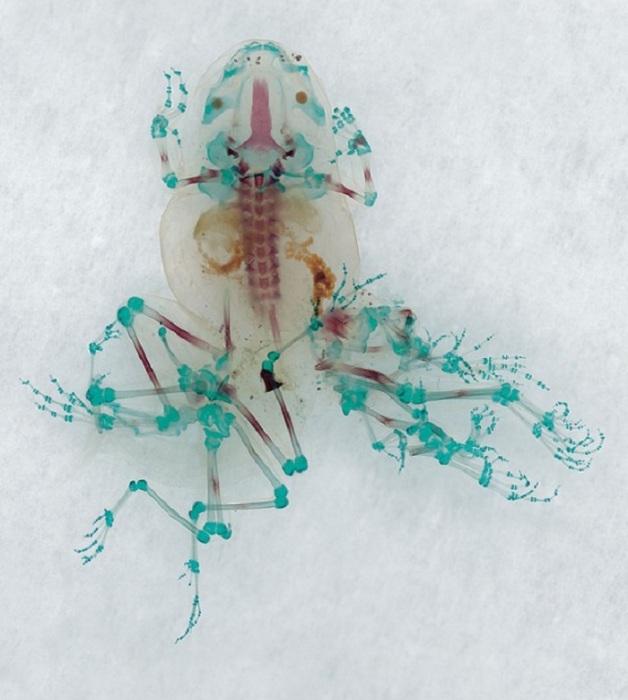 Лягушки и жабы, анатомия