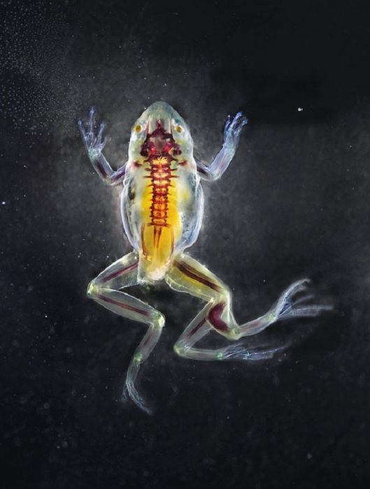 Анатомия лягушек в проекте Malamp – Reliquaries