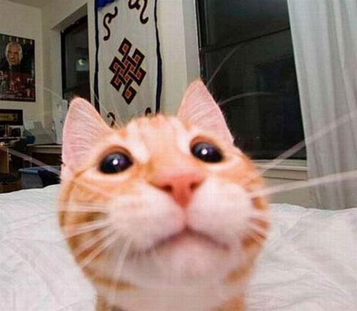 Кошки, снятые в популярном стиле Selfie