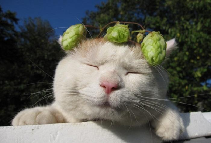 Shironeko: умиротвооренная кошка на просторах интернета.