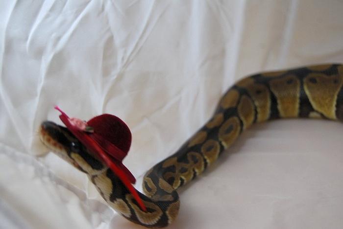 Фотосессия змей в шляпах.