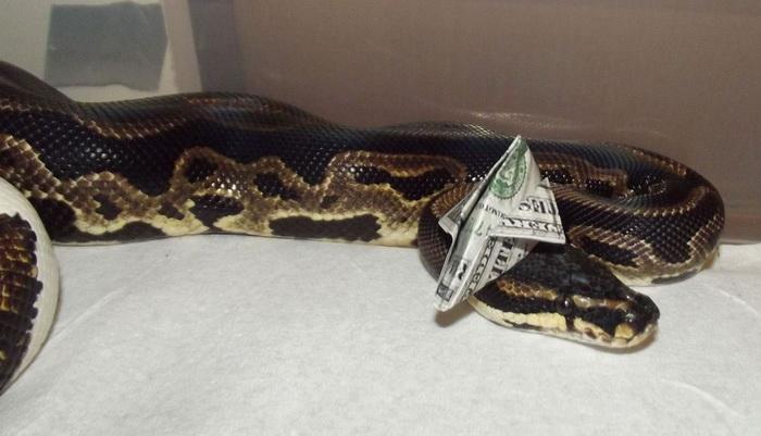 Кокетливые змеи в шляпках.