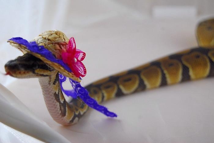 Змея-кокетка.