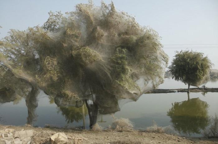 Деревья в паутине, Пакистан.
