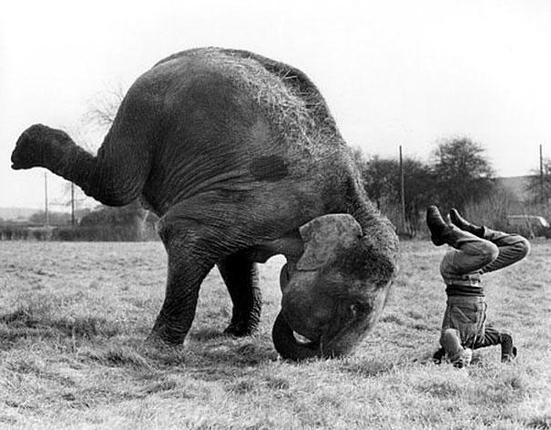 Слон занимается йогой.