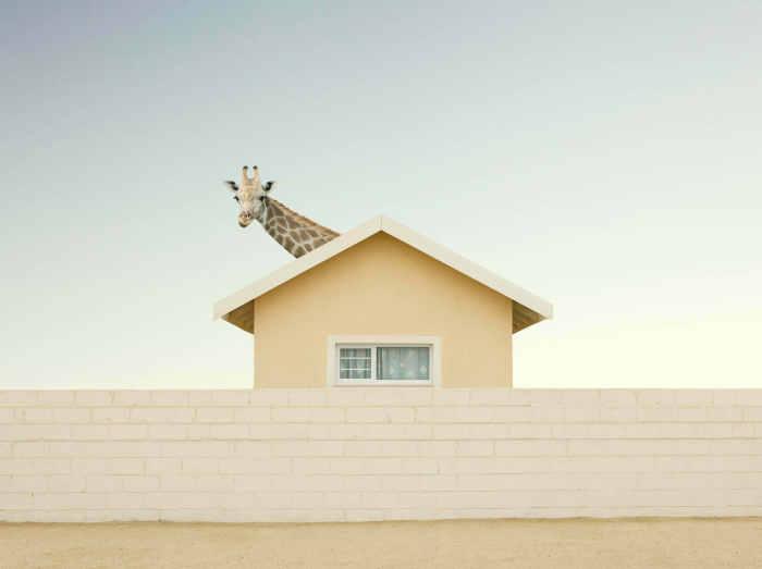 Жираф на крыше