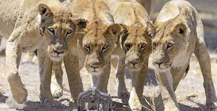 Дикие африканские львы в заповеднике Новой Зеландии