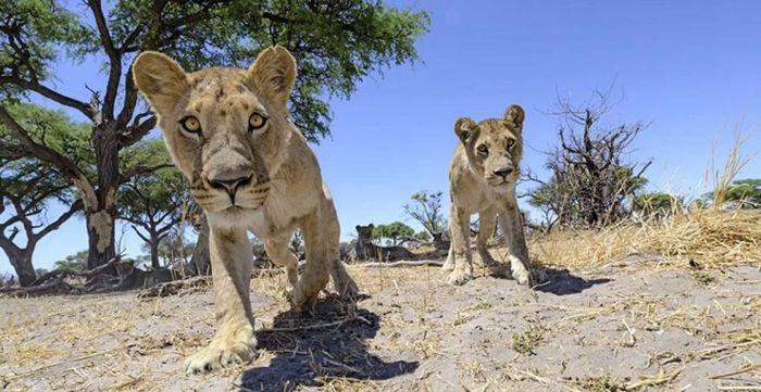 Африканские львы в заповеднике