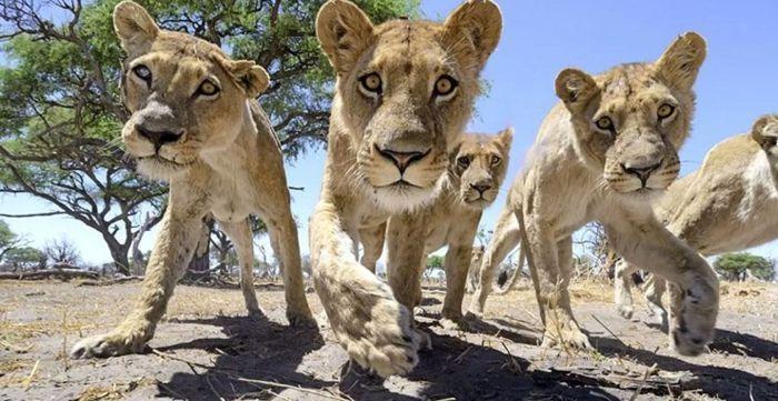 Фотосъемка диких африканских львов