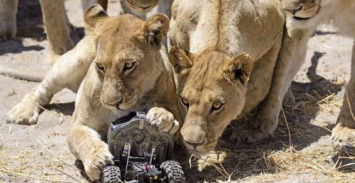 Реакция африканских львов на появление камеры
