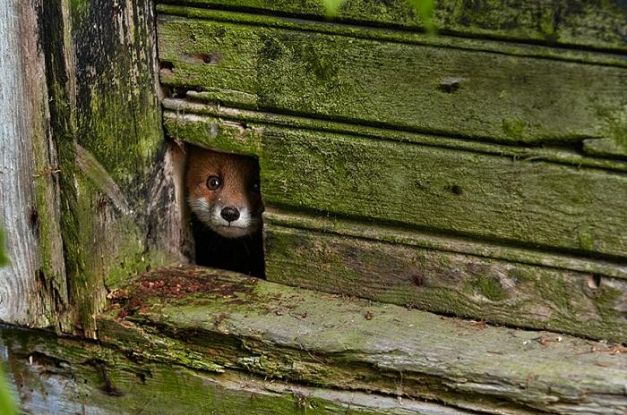 Рыжие лисицы.