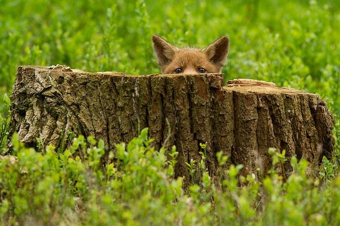 Лисица: игра в прятки.